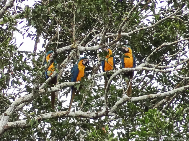 Parrots on the Amazon River