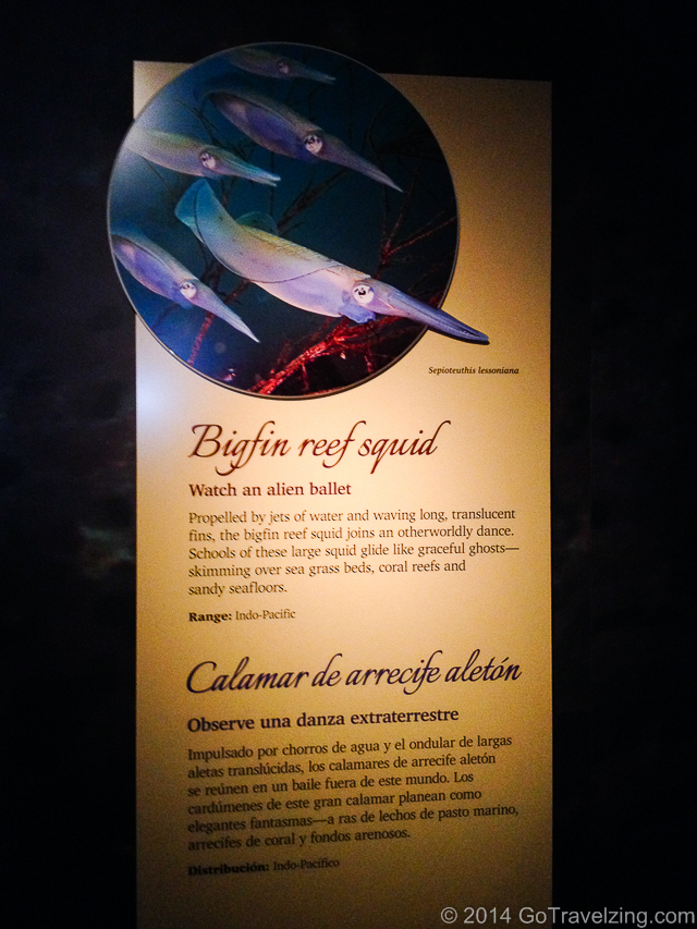 Bigfin Reef Squid Display description