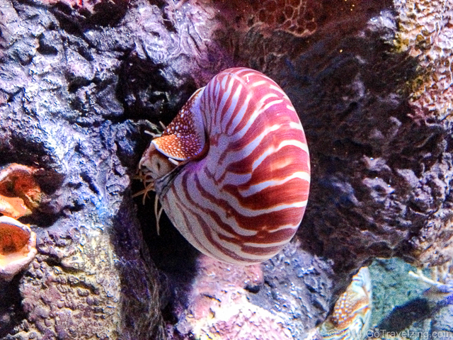 Chambered Nautilus at the aquarium