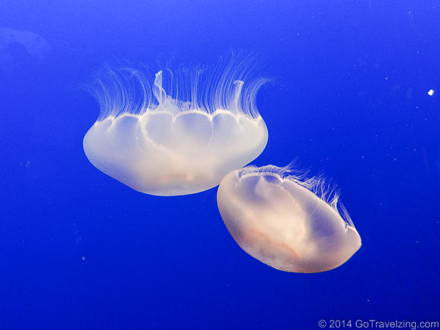 Moon Jellies fish