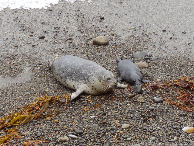 A baby seal with its mother at Point Lobos State Reserve