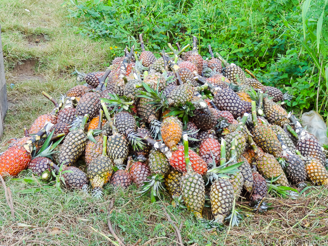 Pineapples on the Amazon